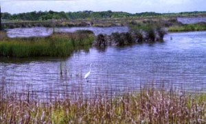 Louisiana marsh and white heron